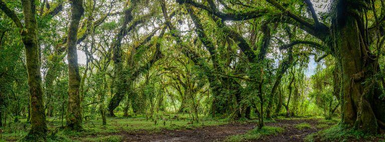 Lush foliage in Harenna Forest, Harenna Escarpment, Bale Mountains National Park, Ethiopia