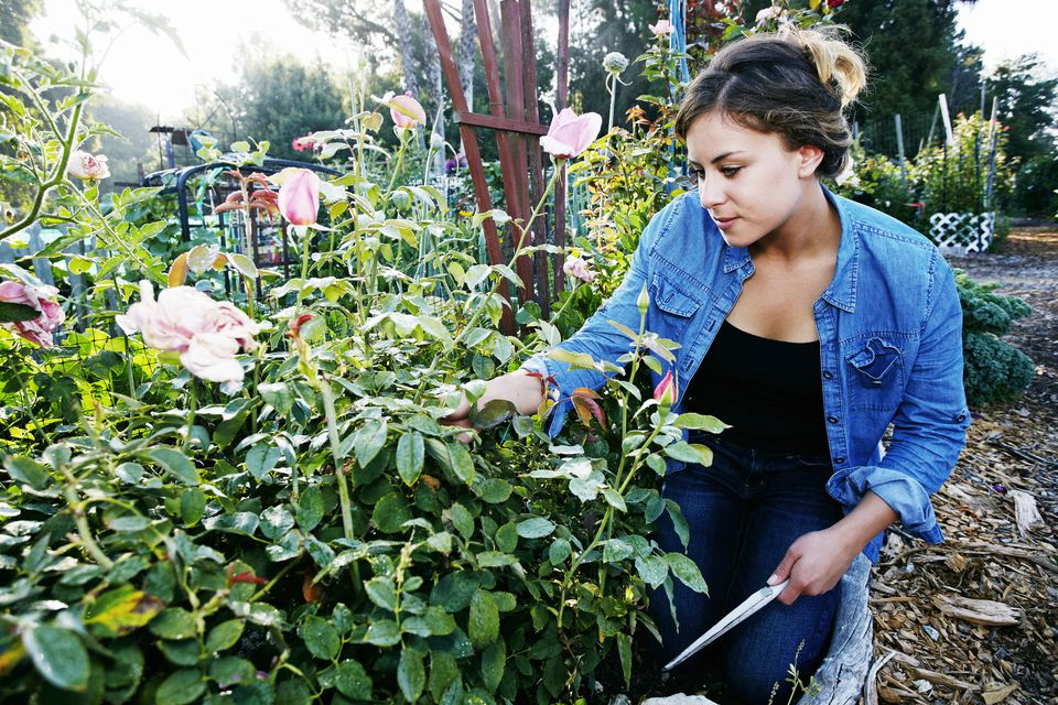 Woman pruning rose bushes.