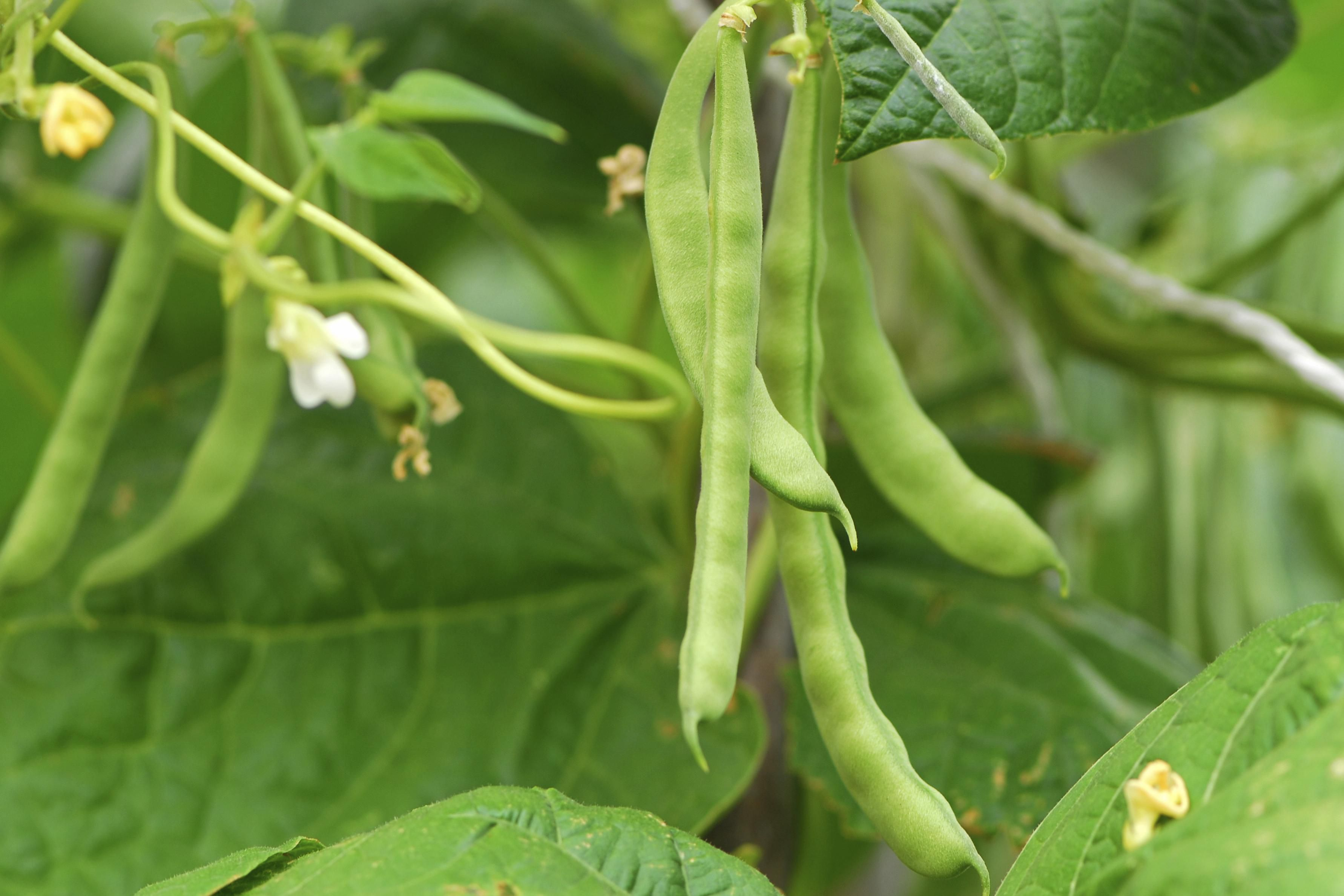 The Best Companion Plants For Pole Beans And Bush Beans