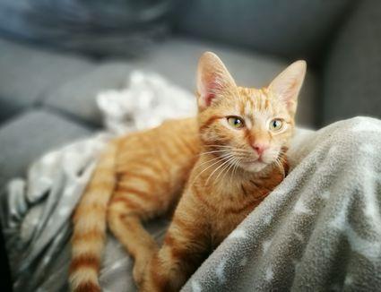 Will An Older Cat Accept A Kitten
