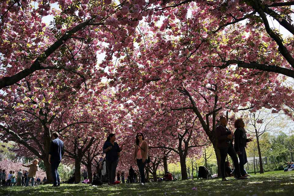 People walk under cherry blossom trees at the Brooklyn Botanical Garden on May 5, 2013 in New York City. The botanical garden, which sits on 52-acres, features numerous gardens and a conservatory. The Brooklyn Botanical Garden is famous for their cherry blossoms, which typically bloom at the end of April and are a centerpiece of the Garden's annual cherry blossom festival which attracts thousands of visitors.