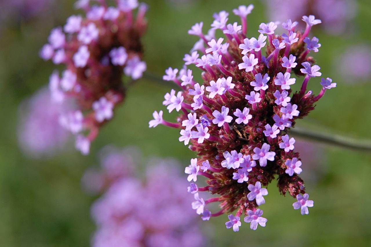 How to care for verbena plants for Easy to care for outdoor flowering plants
