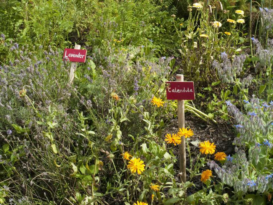 Herbs labeled lavender and calendula in a garden