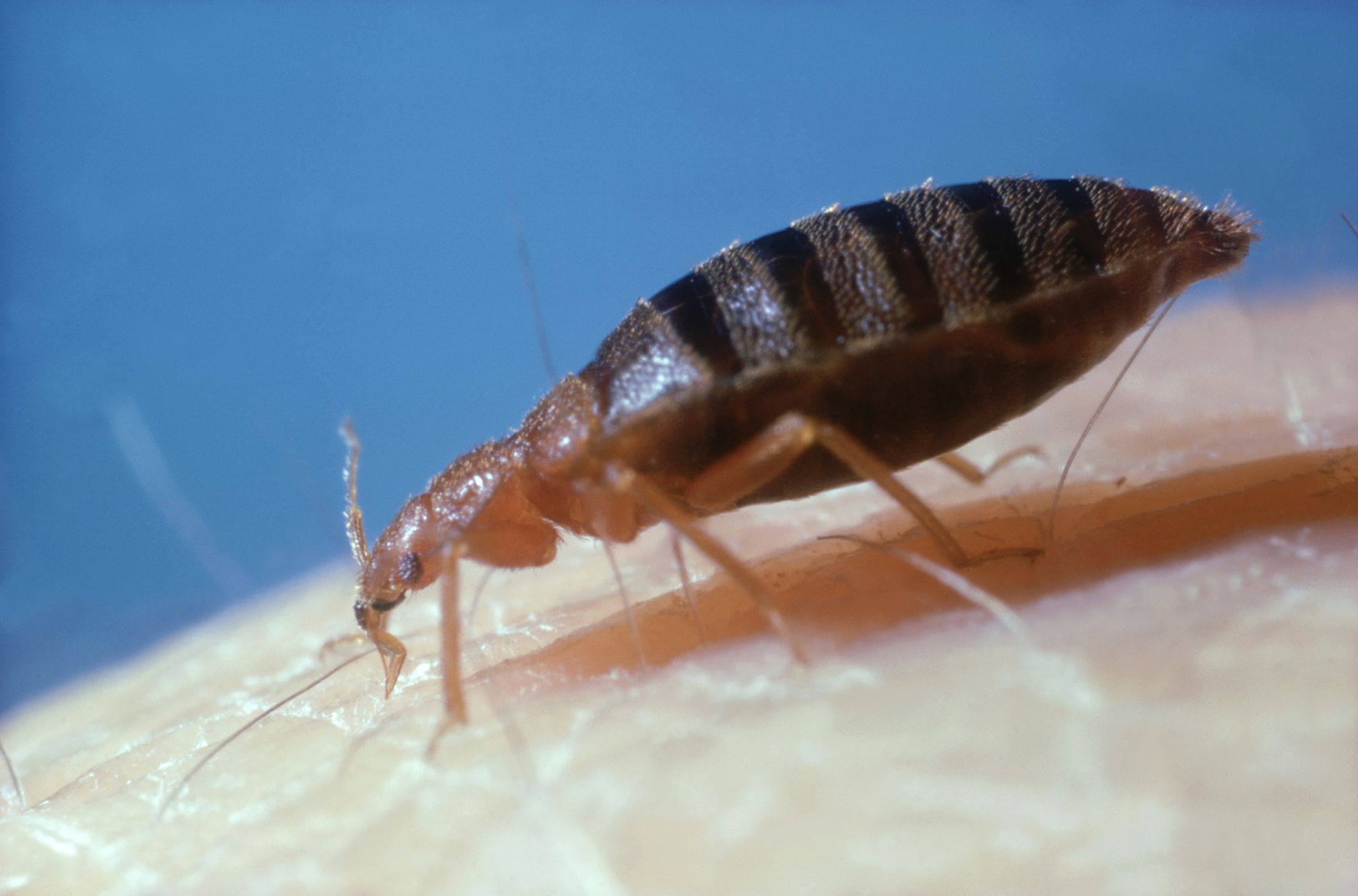 A bed bug feeding. What Good Is a Bed Bug Mattress Cover
