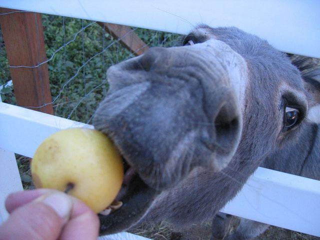 Feeding a donkey