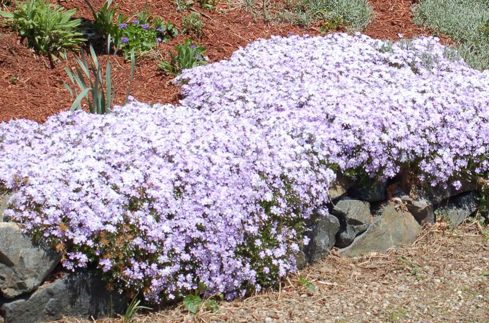 Image of a creeping phlox with lavender-colored flowers.