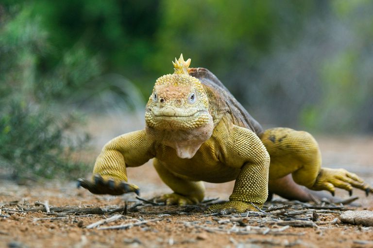 This Galapagos land iguana is one of about 30,000 species of tetrapods alive today.