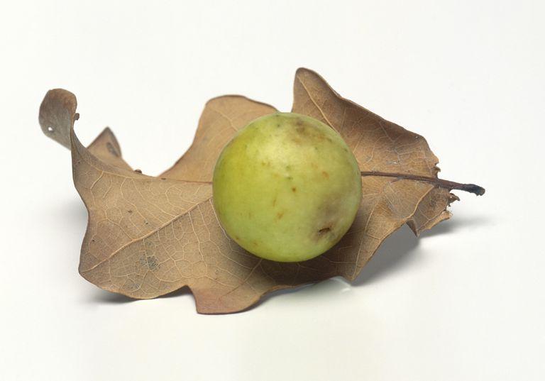 Oak gall.