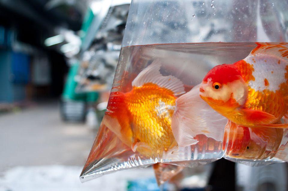 goldfish in plastic bag