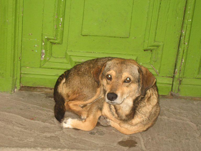 Un perro callejero en Egipto.