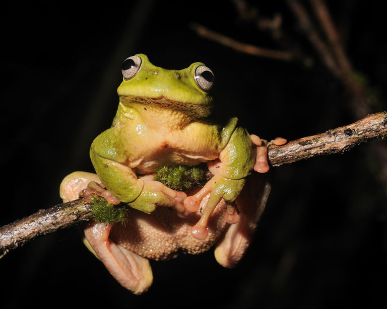 Critically endangered Cusuco National Park endemic tree frog (Plectrohyla exquisita).