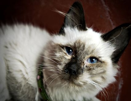Signs And Diagnosis Of Ear Infections In Cats