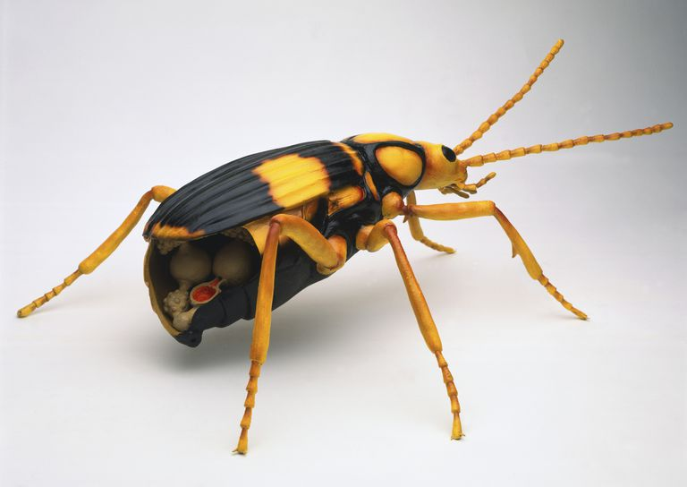 Bombardier beetle illustration with cutaway abdomen.