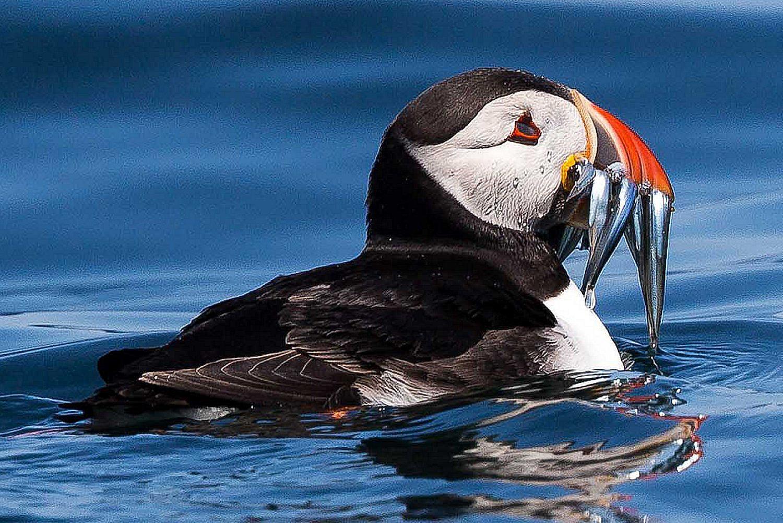 piscivorous definition piscivore bird diets