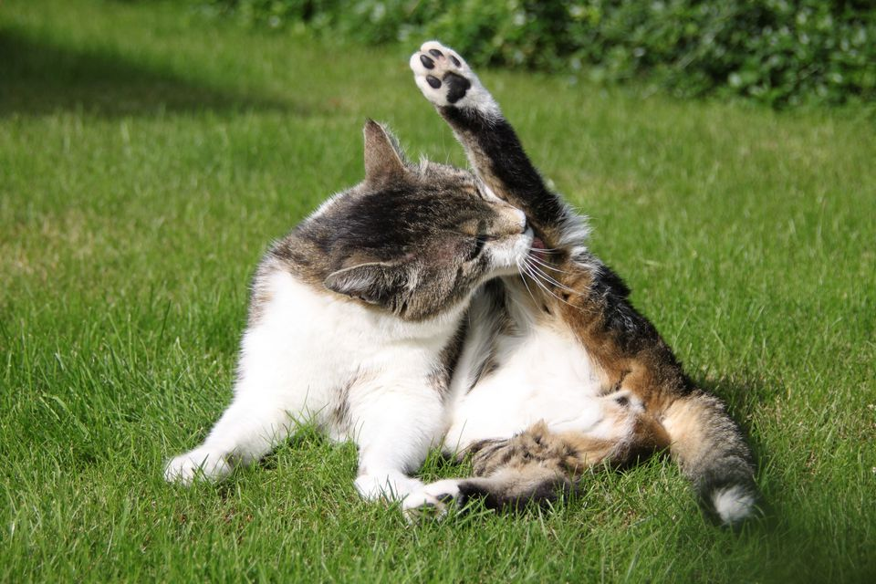 Cat licking back leg