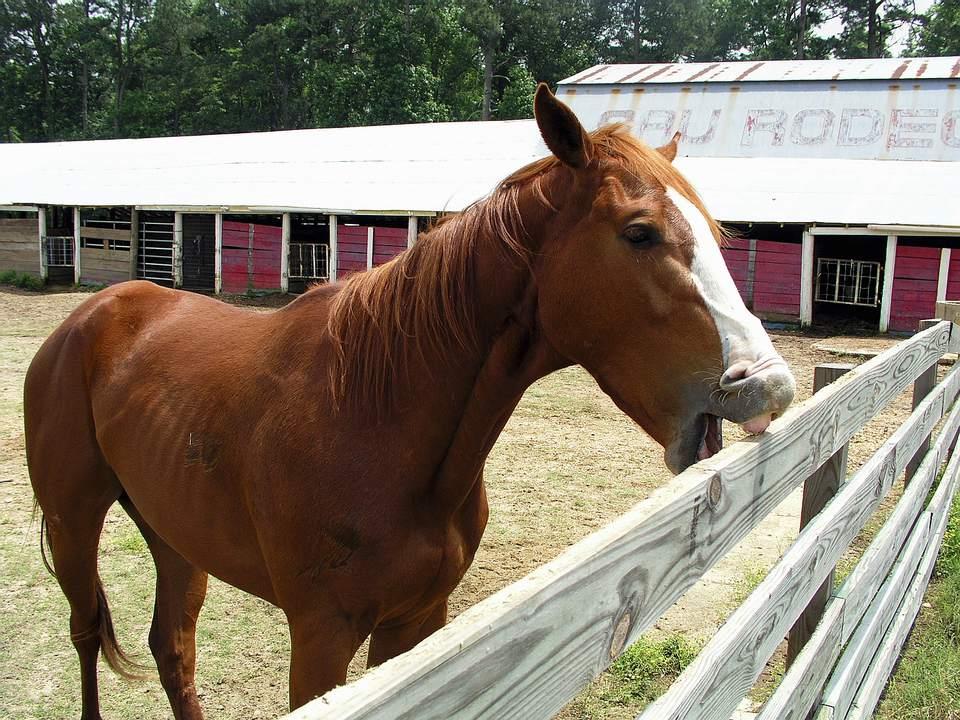 Horse crib biting on fence