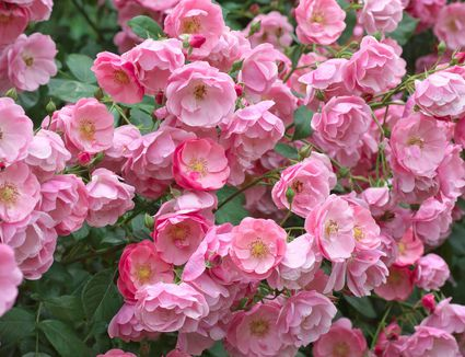 Step-By-Step Guide to Prune Hybrid Tea Roses