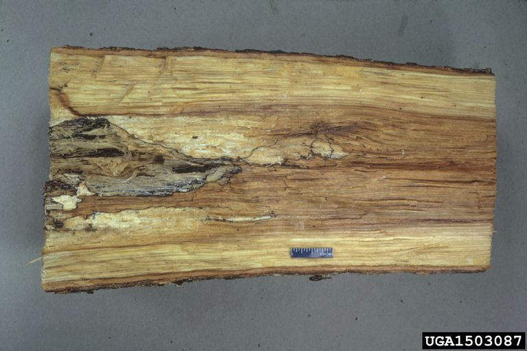 rotted tree cross-section