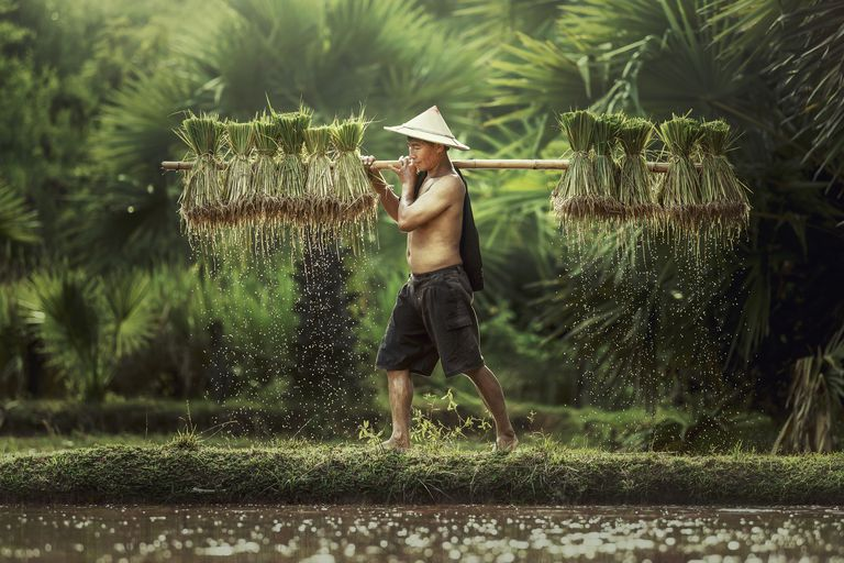 Farmers grow rice in the rainy season.