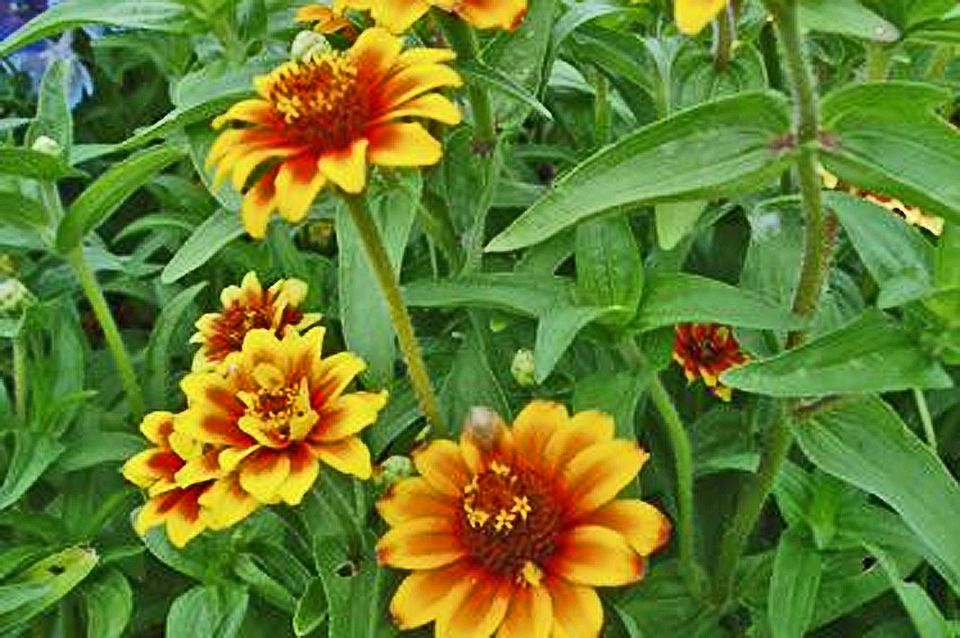Tips for growing and caring for zinnia plants zinnia old mexico mightylinksfo Choice Image