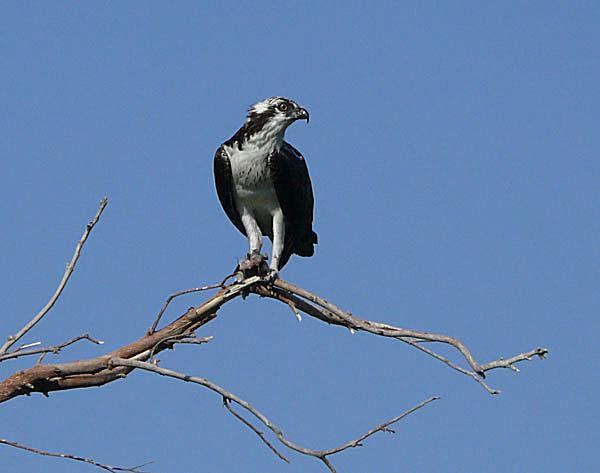 Osprey in Mesa