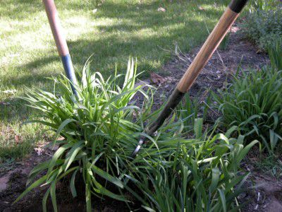 Dividing Perennial Flowers and Plants