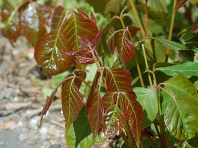 Picture of poison ivy.
