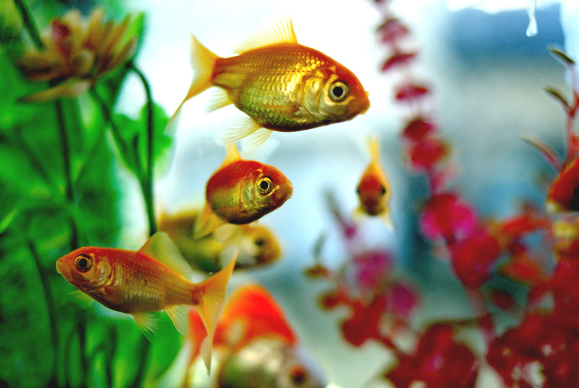 The Symbology of Fish in Feng Shui