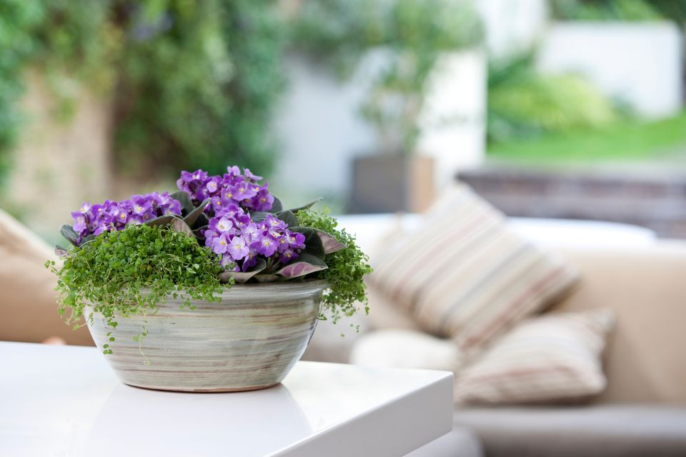 top 12 flowering houseplants - Flowering House Plants Purple