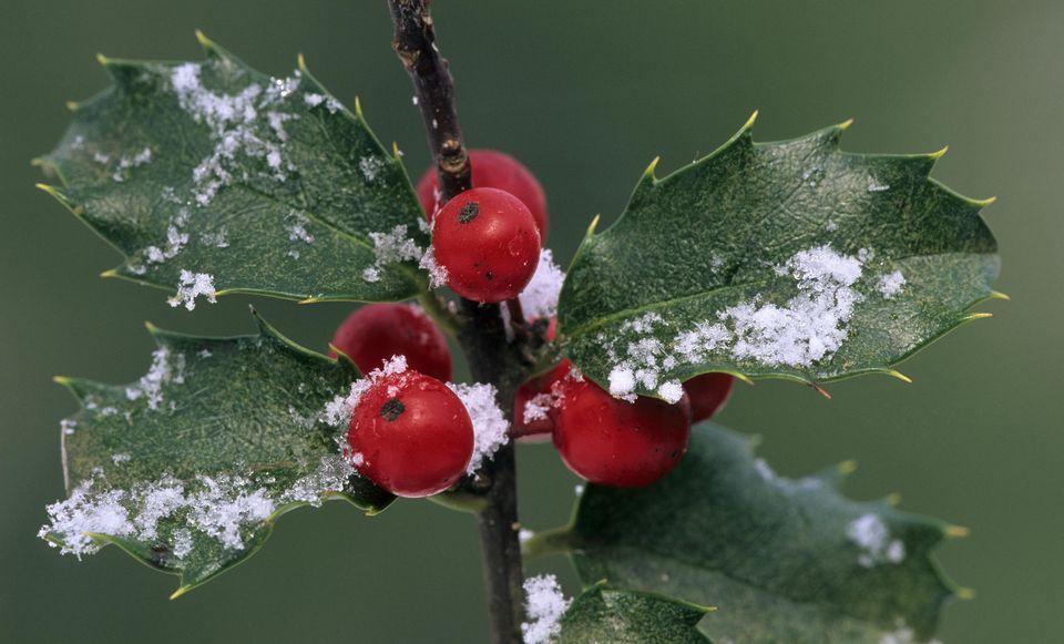 Image: Holly and snowflakes. Blue Princess Holly, Ilex x meserveae. Hybrid holly.