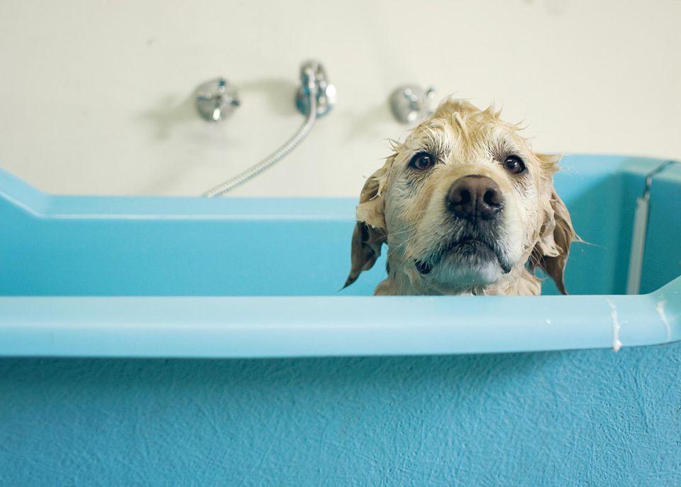 Wet dog peeks over blue bathtub