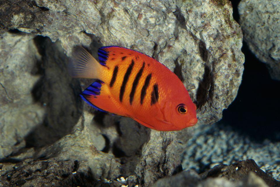 Flame Angelfish
