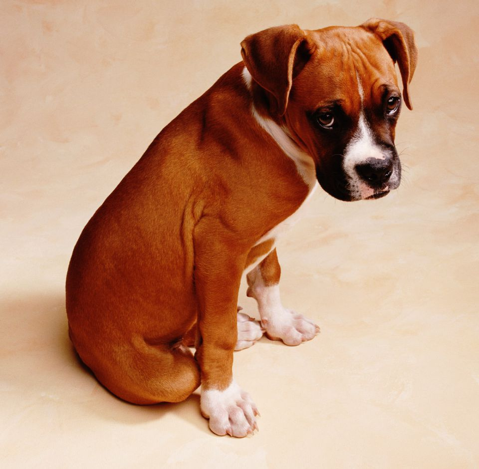 boxer dog looking ashamed