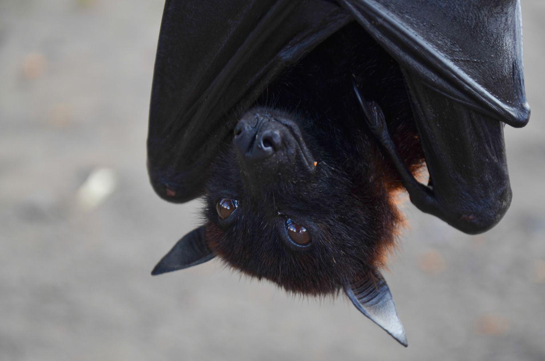 Bat magic and legends biocorpaavc