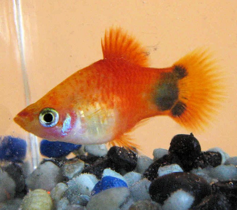 The mickey mouse platy fish as a pet for Platy fish breeding