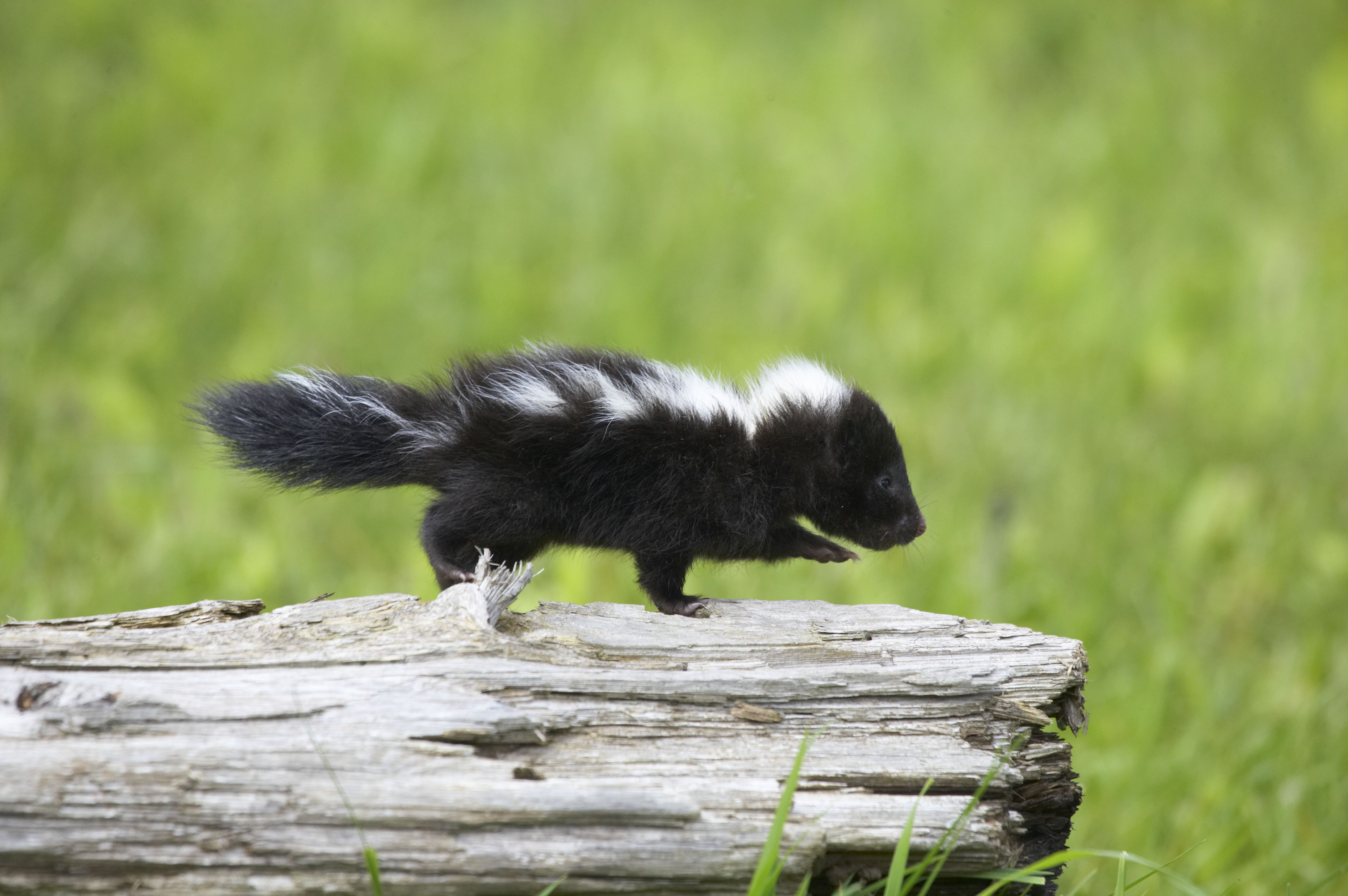 What Is The Lifespan Of A Pet Skunk