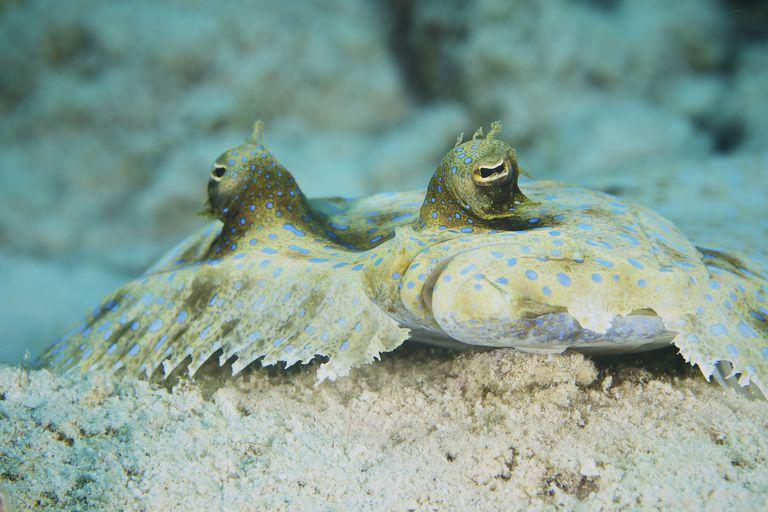 The face of a Peacock Flounder camouflaged on the ocean floor, Bonaire, Caribbean Netherlands.
