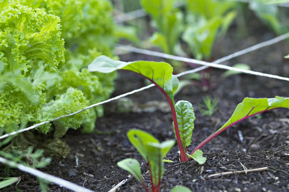 Close up of Lettuce and Young Swiss Chard Beta vulgaris