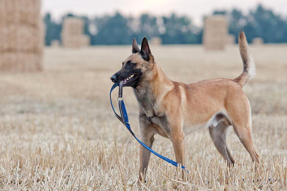 Belgian shepherd, keeping his leash at harvested field.
