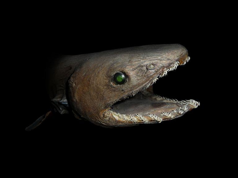 Chlamydoselachus anguineus or frilled shark.