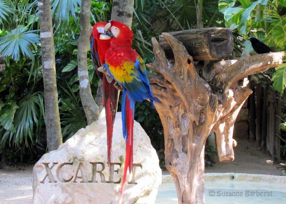 Scarlet Macaws at Xcaret