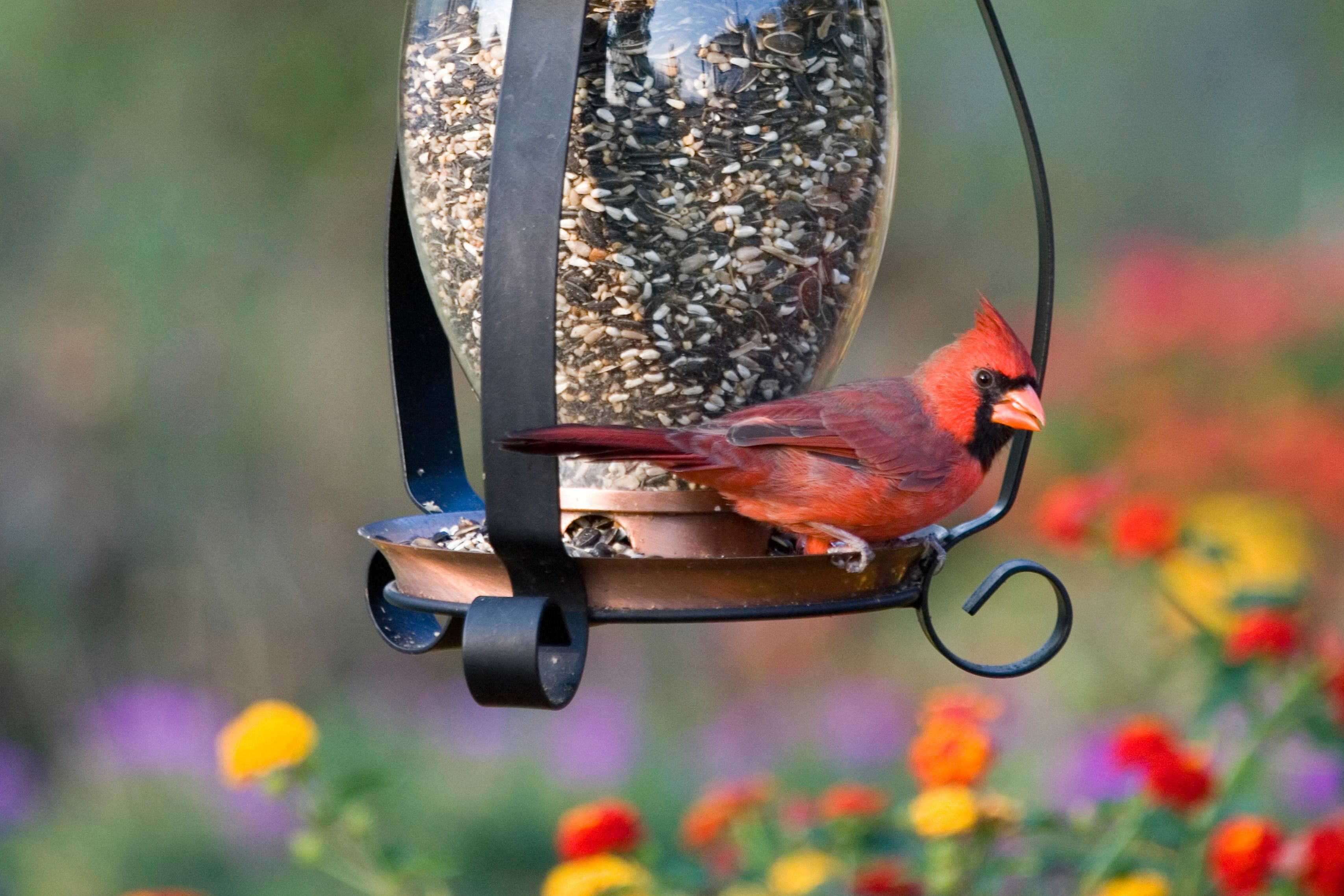 how to attract parrots attracting backyard parrots