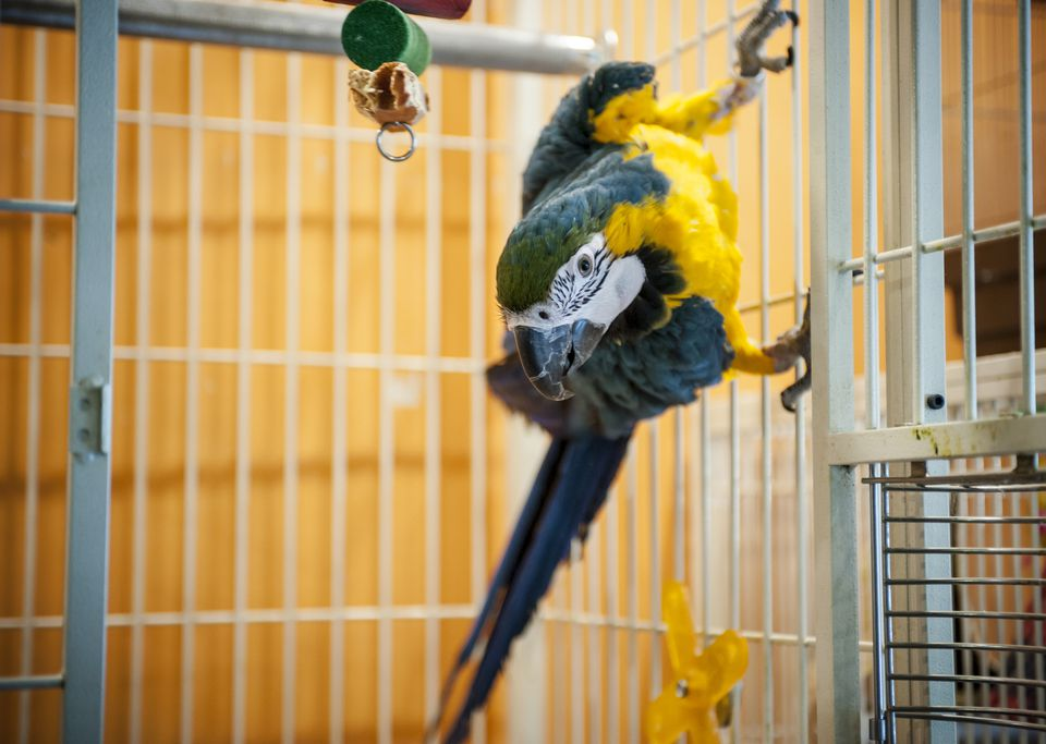 Taking your pet bird on an airplane is not a simple process.