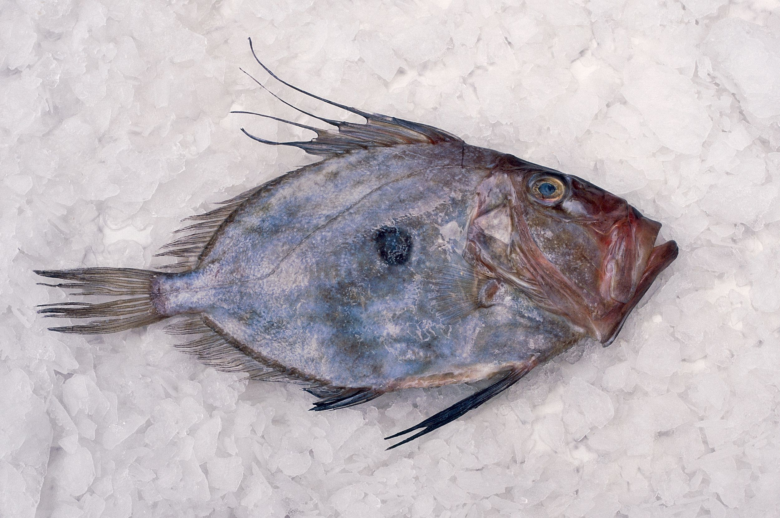 John dory the most unlovely fish you 39 ll ever love for Picture of dory fish