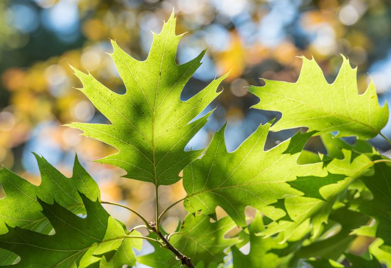 southern red oak leaves