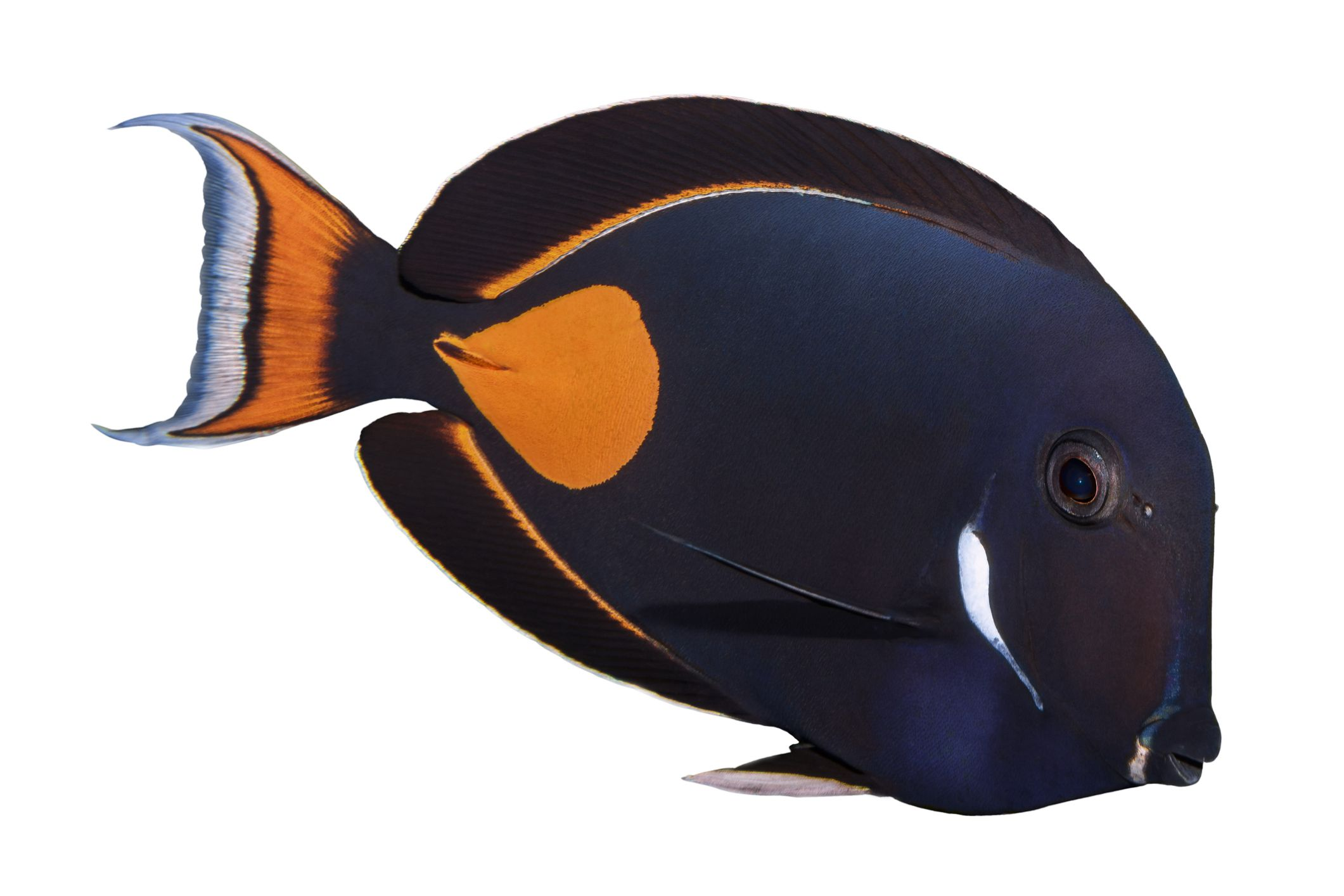 Tang and Surgeonfish Profiles