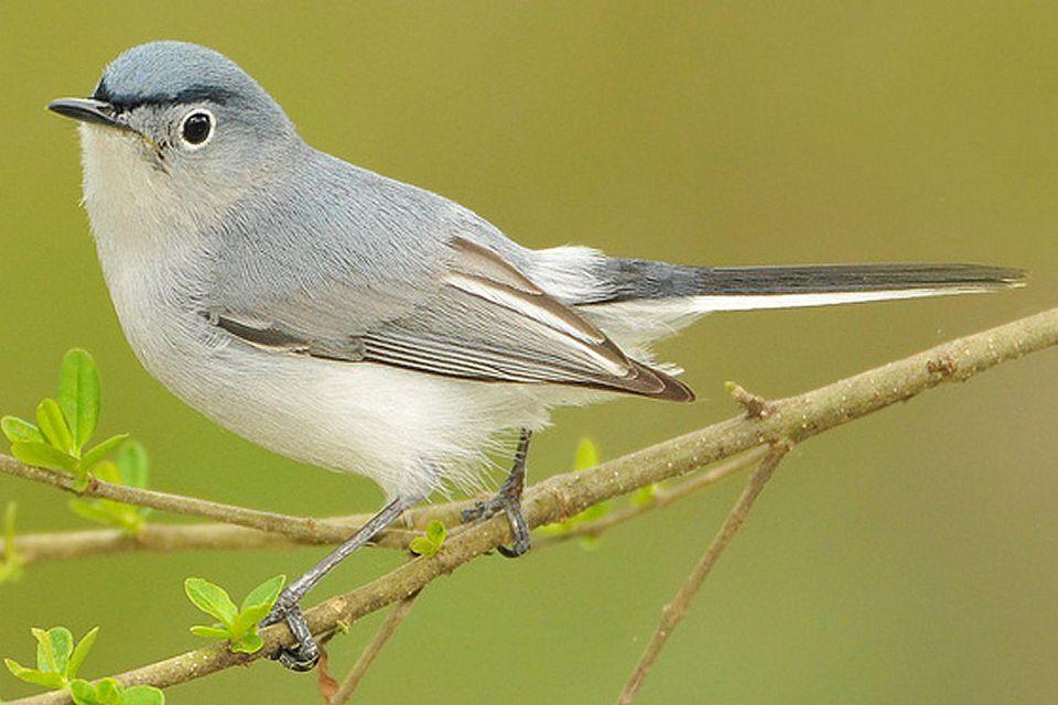 Blue-Gray Gnatcatcher - Male