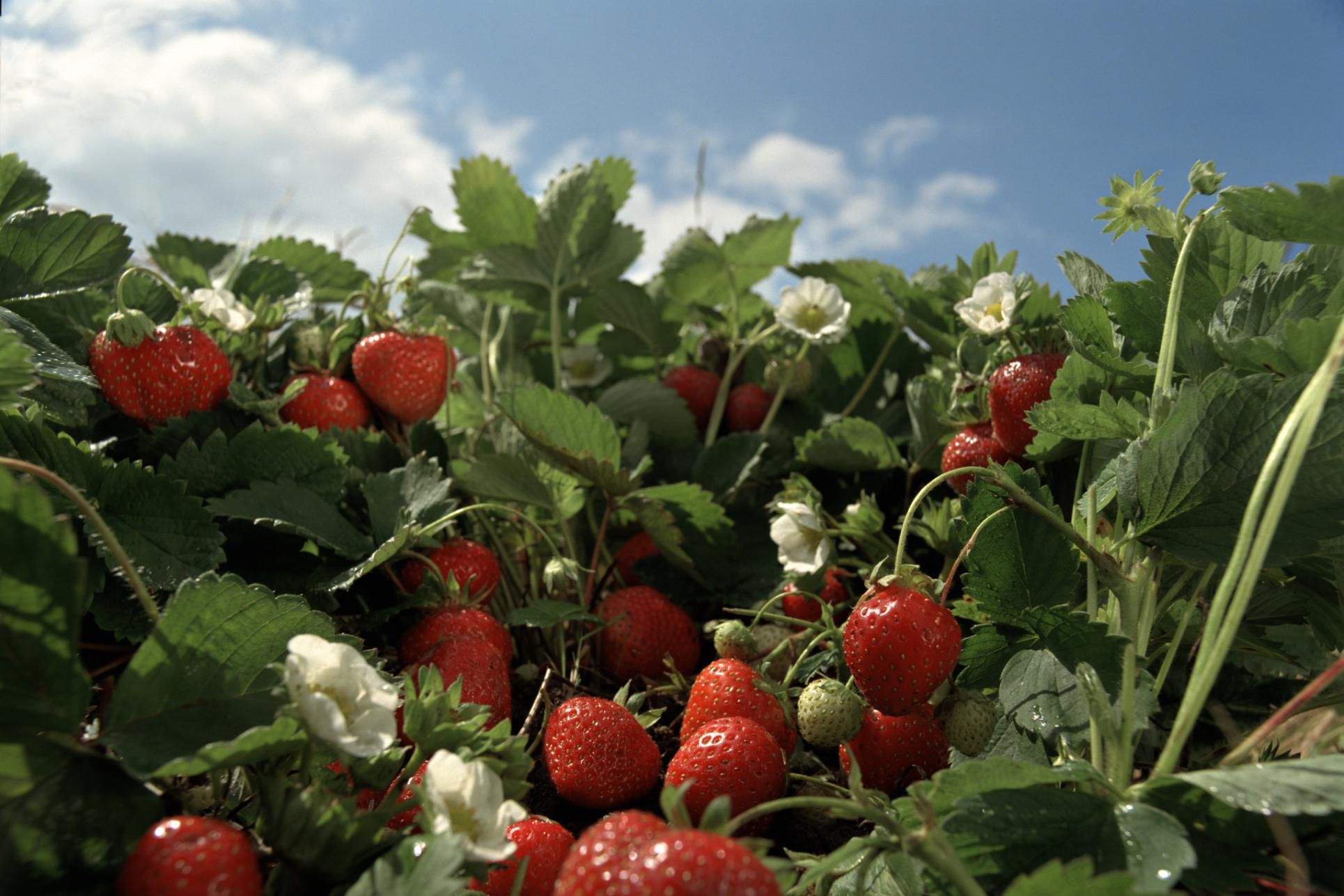 How To Organically Control Strawberry Pests