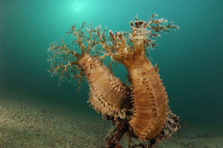 Plankton feeding sea cucumbers