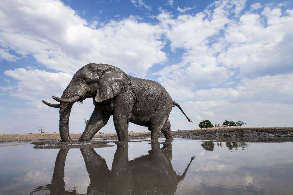 Bull Elephant, Chobe National Park, Botswana